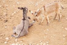 Two Little Donkeys