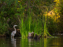 Heron On Newman Lake