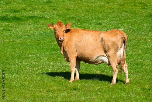 Plakat  Cow on a summer pasture