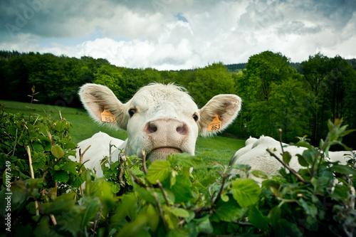 Vache Portrait de vache