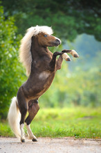 American Miniature Horse Rearing Up