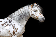Portrait Of The Appaloosa Hors...