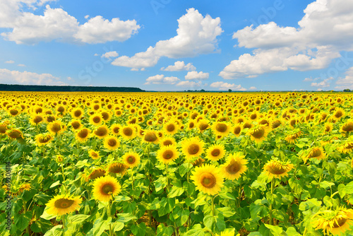 Poster Jaune Sunflower field