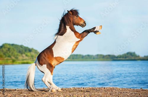 Fotografie, Obraz Shetland painted pony rearing up on the beach