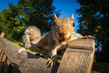 Grey Squirrel On A Park Bench