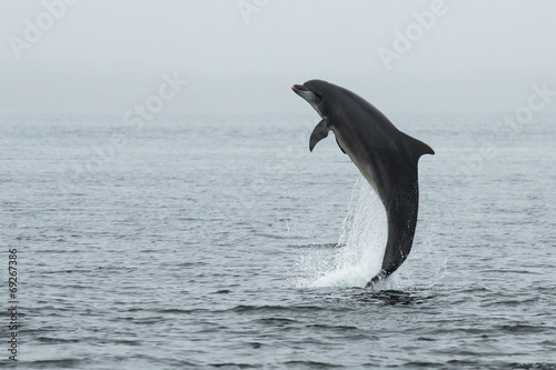 Stampa su Tela Bottlenose Dolphin (Tursiops truncatus) with Salmon