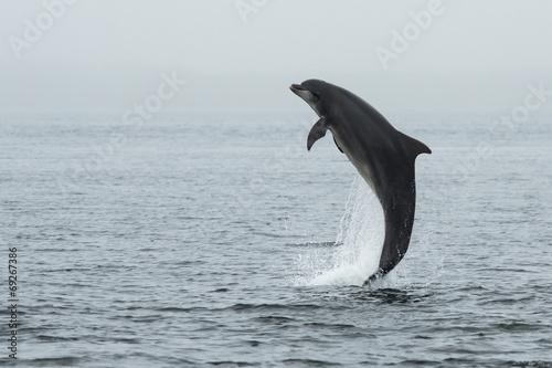 Cuadros en Lienzo Delfín mular (Tursiops truncatus) con salmón