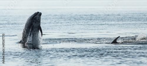 Fotografie, Obraz  Bottlenose Dolphin (Tursiops truncatus)