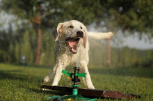 Young Labrador Retriever Playing With Water From Sprinklers