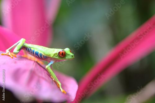 Fotografie, Obraz  Rana verde della Costarica