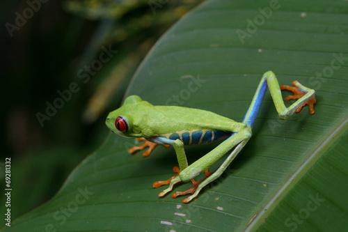 Fotografie, Obraz  Rana Occhi rossi dalla Costarica