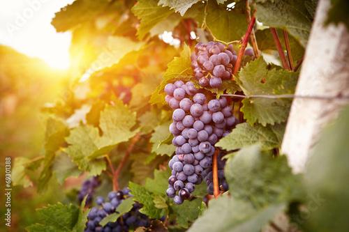 Leinwand Poster Vineyards at sunset in autumn harvest