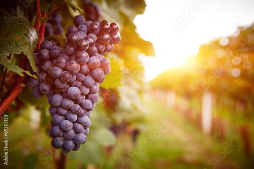 Garden Poster Vineyard Vineyards at sunset in autumn harvest