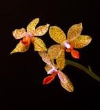 Żółta orchidea na czarnym tle