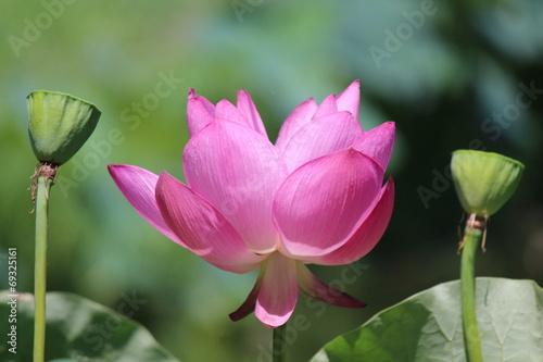 Tuinposter Magnolia 蓮の花