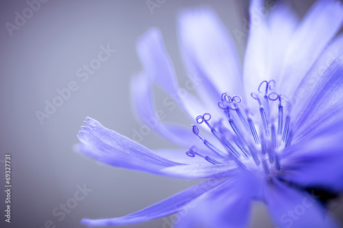 cornflower; small depth of field