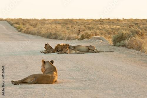 Foto op Plexiglas Afrika Löwenfamilie liegt im Sonnenuntergang auf der Straße