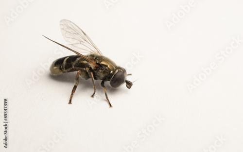 Poster Bee A macro photo of a Hoverfly isolated on a white background