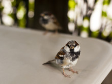 Sparrows On The Table