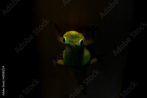 Poster Puma Gold dust day gecko while looking at you