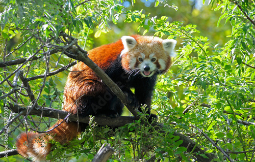 Red panda sitting on a tree branch Canvas Print