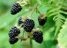 Berries Of Blackberry On The B...