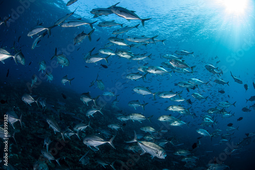 Photo  Light Falling on School of Trevally