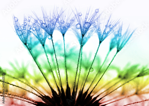 Canvas Prints Dandelions and water dewy dandelion close up