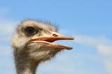 Fototapeta Zwierzęta - struś afrykański