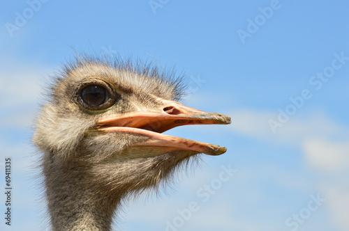 Deurstickers Struisvogel struś afrykański