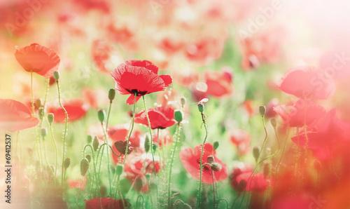 Meadow with poppy flowers (wild poppy)