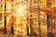 european beech grove in autumn