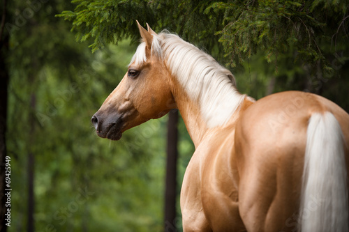 Fototapeta Palomino horse with a white mane, portrait in the forest obraz