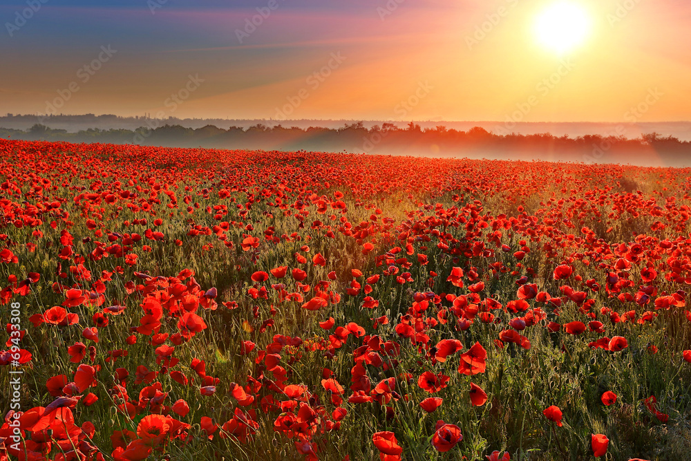 Fototapeta sunset over poppy field