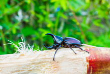 Thai Rhinoceros Beetle Eating ...