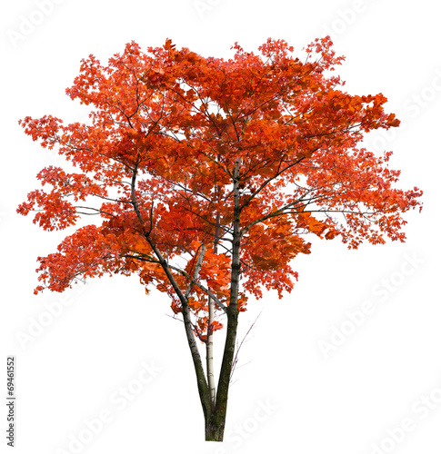 bright large red isolated maple tree Fotobehang