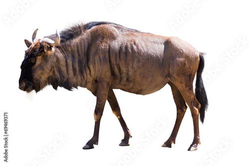 Poster Antilope Blue wildebeest