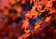 canvas print picture Maple levaves background