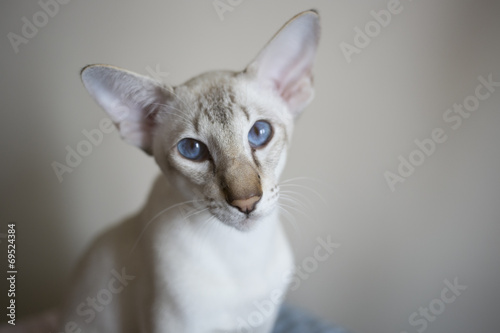 Fotografía  Young white oriental shorthair cat looking in the camera
