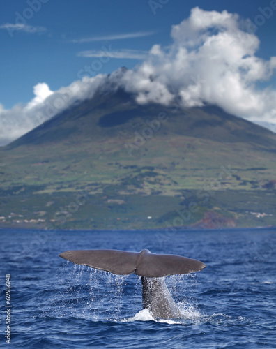 Fin of a sperm whale in front of volcano Pico, Azores islands