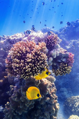 FototapetaMaskenfalterfisch an der Koralle