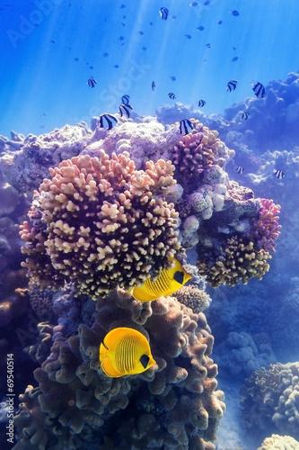 Maskenfalterfisch an der Koralle - 69540514