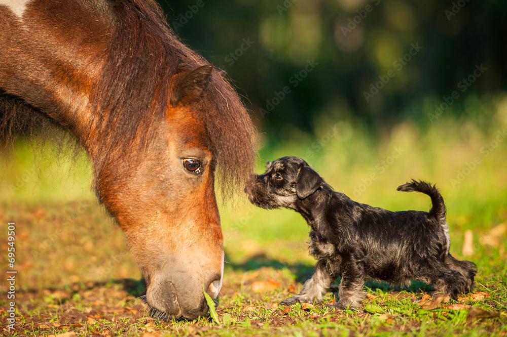 Fototapety, obrazy: Miniature schnauzer puppy with little shetland pony