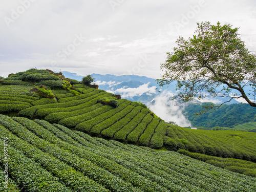 Fotografía  台湾 阿里山国家風景区 茶畑