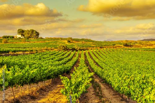 Photo sur Aluminium Vignoble a vineyard in a mediterranean country at sunset