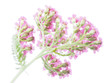 pink milfoil on white background