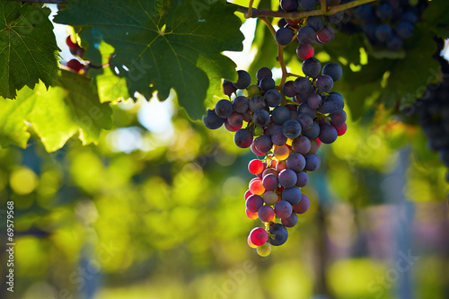 Fotografiet  Branch of red wine grapes