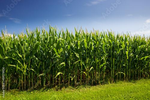 Vászonkép Corn stalks with a very blue sky showing clean energy