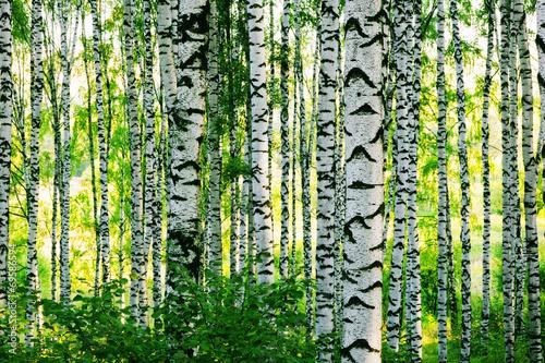 brzoza-lesna
