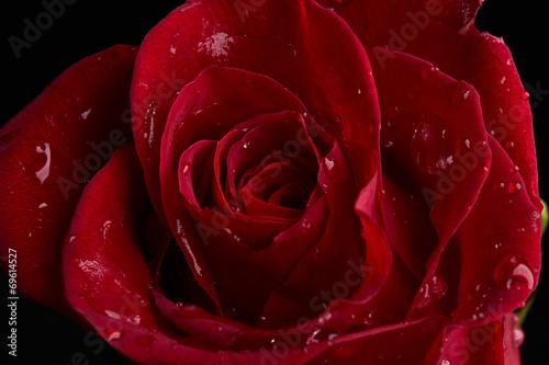 Keuken foto achterwand Roses Red rose